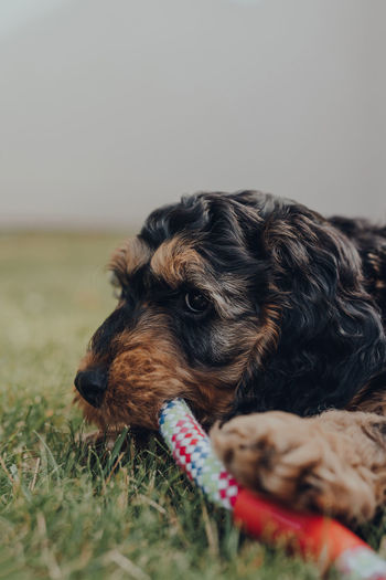 Close up of a cute two month old cockapoo puppy playing with a rubber and rope toy in a garden.