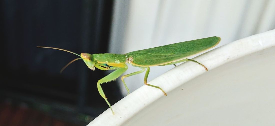 mantis EyeEm Selects Full Length Insect Close-up Grasshopper Animal Scale Animal Antenna Praying Mantis Butterfly - Insect
