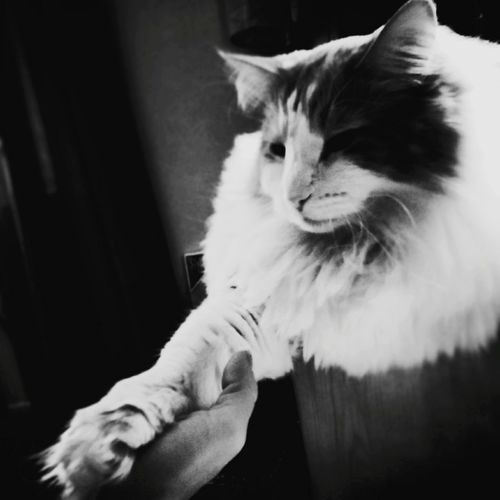 Holding hands Domestic Cat Human Hand One Animal Indoors  Mammal Human Body Part Feline Home 57days Worrier Fighter Sobriety  Nevergivingup