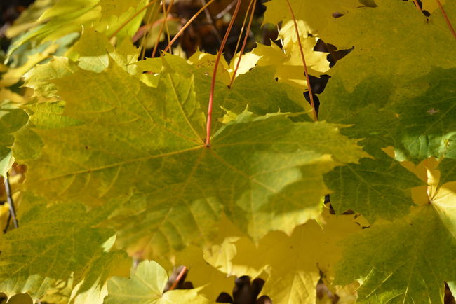 Yellow Green Autumn Beauty In Nature Branch Close-up Day Fragility Freshness Green Color Growth Leaf Leaves Maple Nature No People Outdoors Sun Through Leaves
