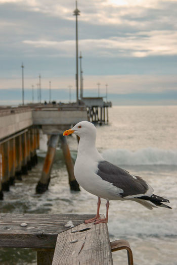 Animals In The Wild Water Animal Wildlife Vertebrate Animal Animal Themes Bird Sky Sea Perching Wood - Material Seagull Nature Focus On Foreground One Animal Pier Day Railing No People Outdoors Wooden Post