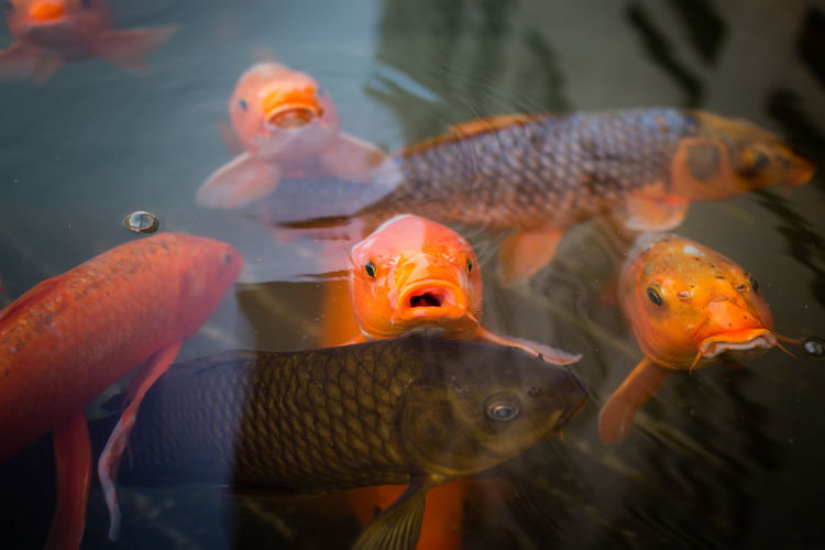 Close-up of fish swimming in pond