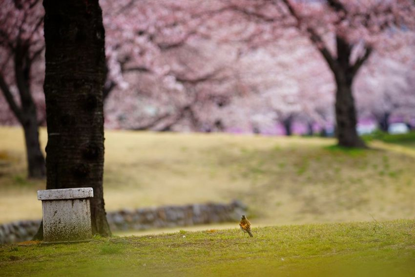 🐦 Capture The Moment Uzukiの桜 Depth Of Field One Animal Bird Low Section Springtime Animals In The Wild Sakura Defocused Minimalism Fine Art Still Life Landscapes Fragility Beauty In Nature Fantasy Uzuki Of The Flower Cherry Blossoms Bokeh On Foreground Full Frame The Secret Spaces Detail Sigma EyeEm Best Shots 17_04 TCPM The Photojournalist - 2017 EyeEm Awards