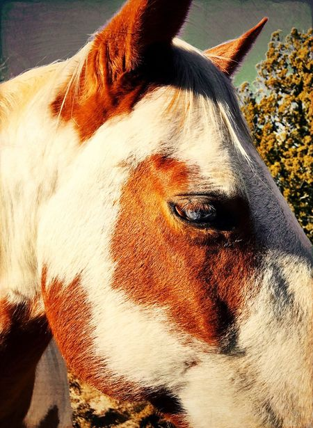 """Blue Eyed Paint"" A beautiful blue eyed Paint Horse basking in the late afternoon New Mexico sun. One Animal Animal Themes Domestic Animals Horse Animal Head  Mammal Close-up Outdoors Livestock New Mexico NewMexicoTRUE Newmexico Newmexicophotography Painthorse Horses Horseportrait"