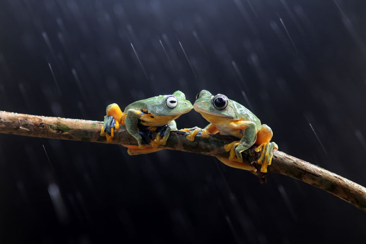 Wallace's flying frog, tree frog on a branch Animal Wildlife Animal Animals In The Wild Animal Themes Vertebrate No People Nature Focus On Foreground Close-up One Animal Outdoors Day Branch Amphibian Parrot Perching Tree Frog