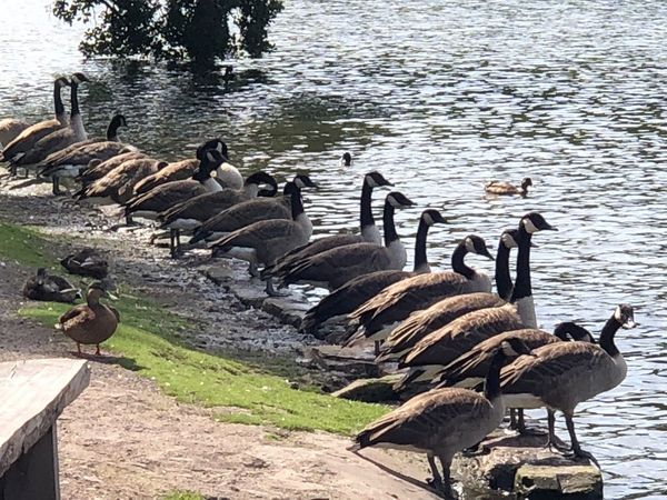 On your marks..... Bird Animals In The Wild Animal Themes Animal Vertebrate Group Of Animals Animal Wildlife Water Lake Large Group Of Animals Goose Canada Goose No People Nature Lakeshore Outdoors Water Bird