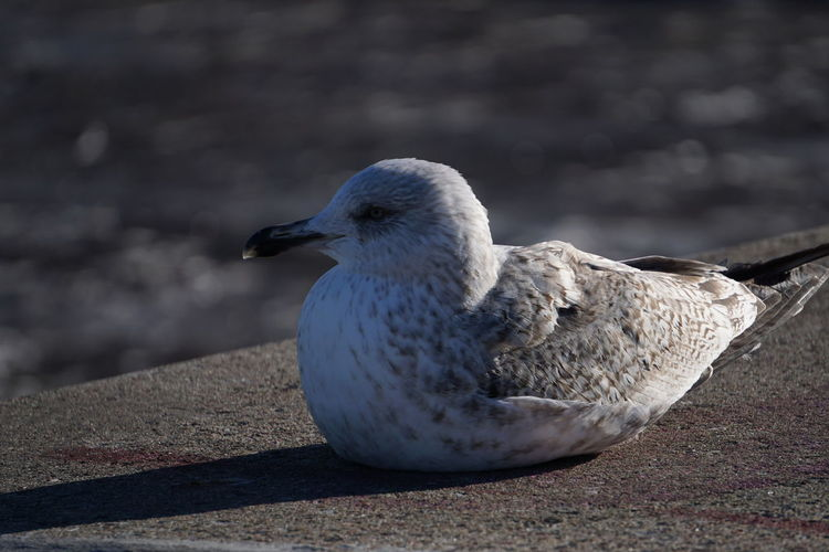 Close-up of seagull on retaining wall