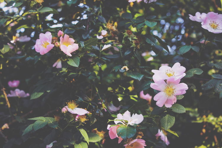 Beauty In Nature Blooming Briar Bush Color Colors Dogrose Flower Flower Head Flowers Fragility Freshness Green Greenery Growth Herb Leaf Nature Outdoors Petal Plant Shrub Springtime Verdure Wilting