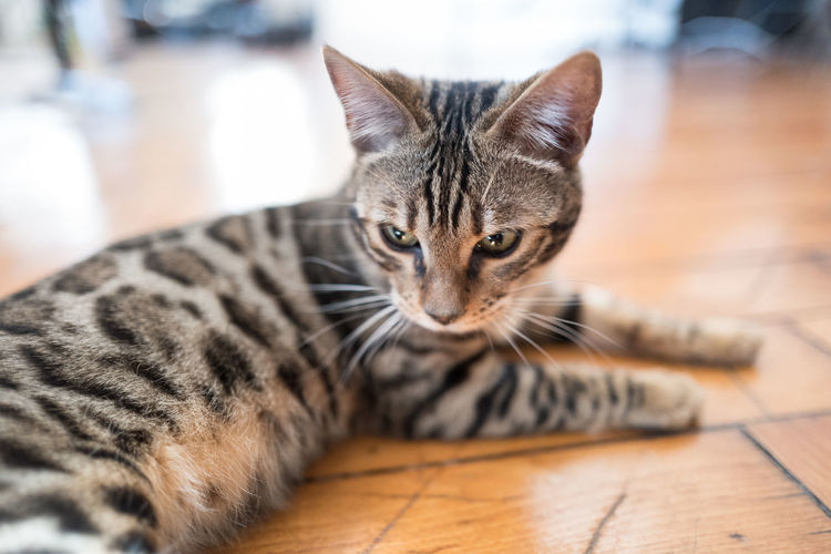 Photo of my Bengal cat, Elliot. Animal Portrait Animal Themes Beautiful Beautiful Cat Bengal Bengal Cat Cat Cat Like Lion Cat On The Floor Cat With Stripes Cat With Toy Close-up Domestic Animals Domestic Cat Hauskatze Katze Katzenfoto No People Pets