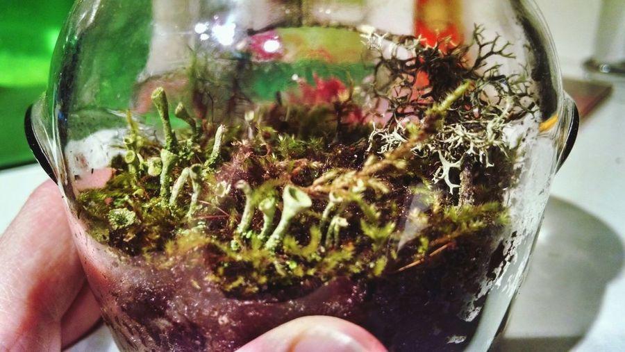 Terrarium Lichen Pixie Cup Jar Moss Ecosystem  Close-up Mini Plants
