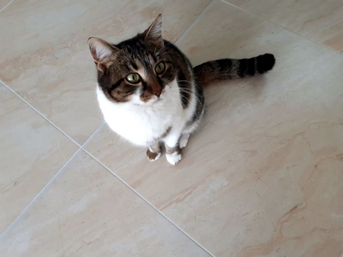Pets Feline Portrait Domestic Cat Sitting High Angle View Animal Themes Tabby Cat At Home Adult Animal Home Animal Face Yellow Eyes Whisker