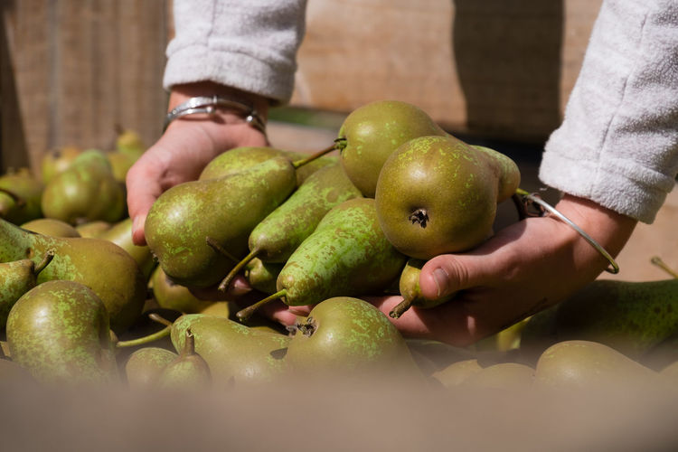 Close-up of hands holding pears - fruit picking