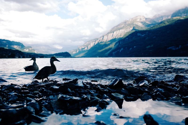 Bird Animals In The Wild Animal Themes Water Animal Wildlife Nature Beauty In Nature Sea Mountain Scenics One Animal Cloud - Sky Sky Outdoors Day No People Snow Perching Swan Switzerland Lake Relaxing