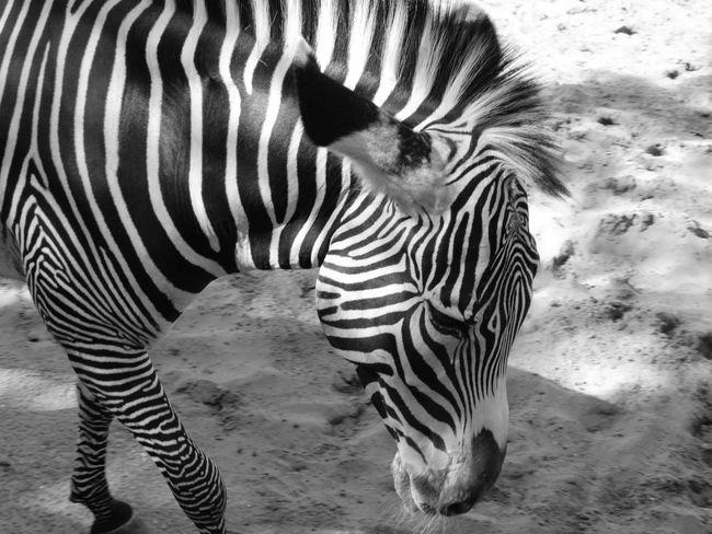 Stripes Zebra Animal Animal Head  Animal Markings Animal Themes Animal Wildlife Animals In The Wild Black And White Blackandwhite Day Herbivorous Mammal Natural Pattern No People One Animal Safari Striped Striped Pattern Vertebrate Zebra Zebra Stripes