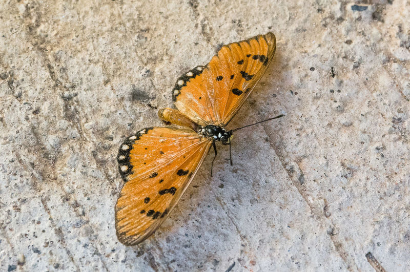 Animal Animal Body Part Animal Themes Animal Wildlife Animal Wing Animals In The Wild Beauty In Nature Butterfly Butterfly - Insect Close-up Day High Angle View Insect Invertebrate Moth Nature No People One Animal Outdoors Yellow