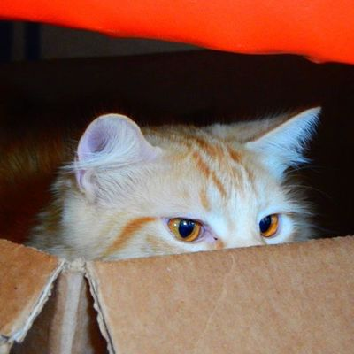 Mrlito Catsloveboxes Gingercat