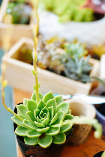 Close-up Day Flower Flower Head Focus On Foreground Freshness Growth Indoors  Leaf Nature No People Plant