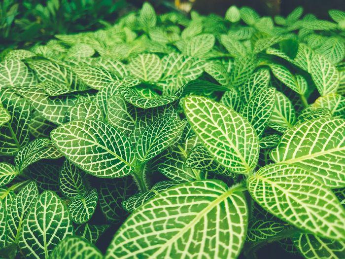กรีน Mosaic Plant Nerve Plant Fittonia Albivenis Backgrounds Nature Nature_collection Nature Photography Leaf Backgrounds Close-up Green Color Flower Head Blooming Plant Life Fragility Petal Stamen