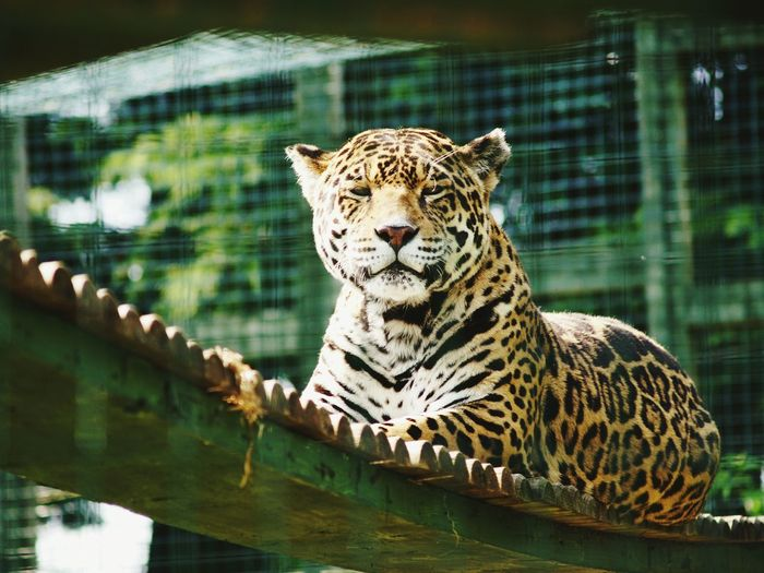 EyeEm Nature Lover Relaxing EyeEm Best Shots - Nature EyeEm Best Shots Nature Beauty Calm Nature Photography Nature_collection Big Cat Spots JAGUAR Zoo Animals  ZooLife Animals Animal Photography Animal_collection