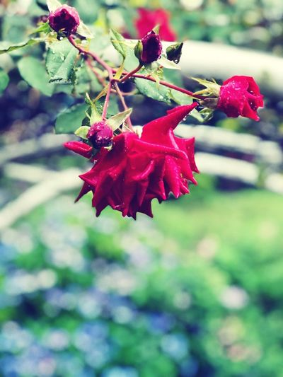 Iphone8plus Rain Rose - Flower IPhoneography Plant Growth Beauty In Nature Red Focus On Foreground Close-up Freshness No People Nature Flower Flowering Plant