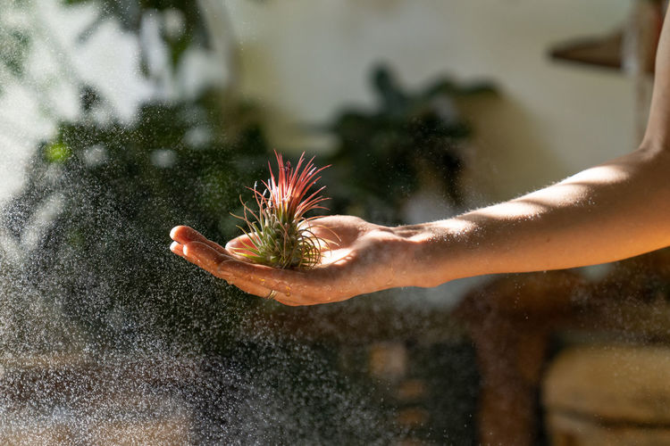Close up of woman florist holding in her wet hand and spraying air plant tillandsia at garden home