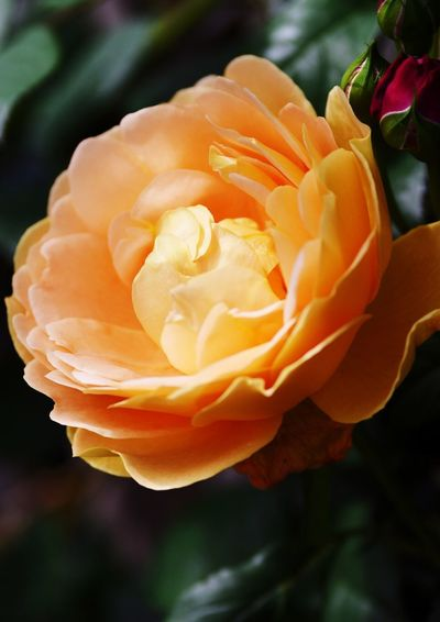 Flower Flowering Plant Fragility Petal Vulnerability  Beauty In Nature Plant Close-up Flower Head Inflorescence Freshness Focus On Foreground Orange Color No People Growth Rosé Nature Rose - Flower Outdoors Springtime