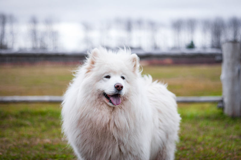 White dog looking away on field