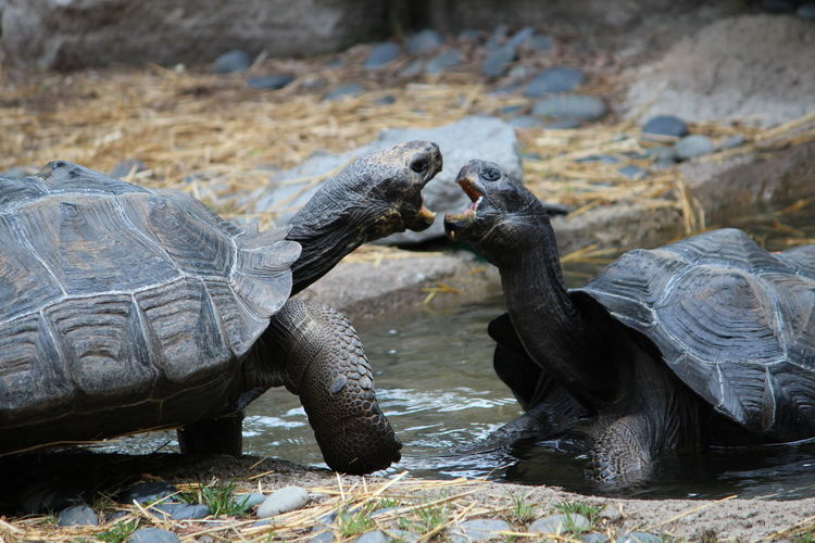 Close-up of tortoises fighting in pond at zoo