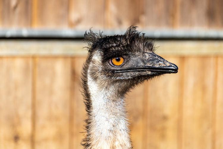 Portrait of a young female emu dromaius novaehollandiae