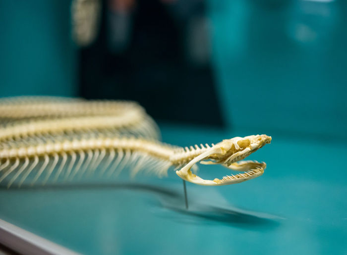 Close-up of snake skeleton on table at museum