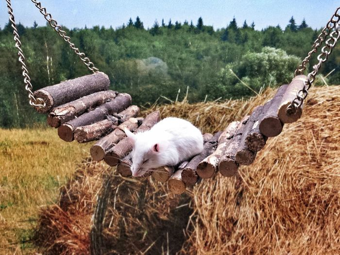Close-up of white mice on swing at field
