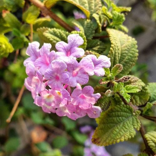 """Common name: Trailing lantana, Weeping lantana, Creeping lantana, {Samballei, Nongballei, Thirei} (Manipuri), Raimu niya राईमुनिया (Hindi), உன்னிச்செடி Unnichedi (Tamil), तणतणी tantani (Marathi) Botanical name: Lantana montevidensis Family: Verbenaceae (verbena family) Not as well known as the common lantana (Lantana camara), trailing lantana will only get 12-15"""" in height with a 3-6 foot spread, making it a nice groundcover. The blooms are lilac pink to purple with yellow centers, appear in flowerhead clusters that are 1 in (2.5 cm) across, from spring to fall, and are great for attracting butterflies. This tender tropical evergreen has dark green leaves with a rough hairy texture. The foliage will change to a red to purple color in the colder months. The foliage is very aromatic and can irritate the skin of some people. The trailing lantana does not seem to naturalize as readily and isn't as invasive as its cousin, common lantana. The unripe berries of Lantana species are toxic. Livestock and pets have become ill after eating the foliage. Flowerofindia Beautiful Flower Love Lotus Instagram Rituals Floweroftheday Ig_mood Yamunanagar Haul Ritualscosmetics Picoftheday Aroundmumbai Flowerlover Lumiapic Beautyblogger Grabyourdream Amigasmakeup Instaaddict Blossom 20likes Indian Oyeitsindia Igermumbai instagood lumia flowerpower flowermagic water"""