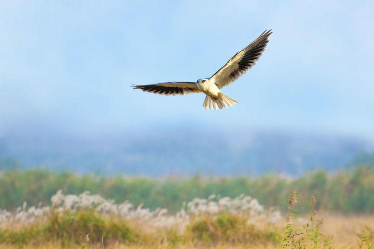 【神奇的高邮湖】黑翅鸢系列