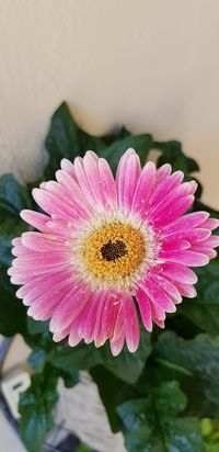 No People Outdoor Photography Gerbera Flower Head Flower Water Bee Pink Color Petal Insect Pollination Close-up Plant Pollen