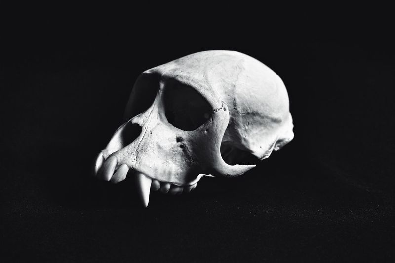 a still life.......... Dignity Natural History Nature Teeth Textured Surface Black And White Photography Black And White Primate Monkey Kranium Skull Studio Shot Indoors  Still Life Bone  Close-up Black Background Single Object Skeleton