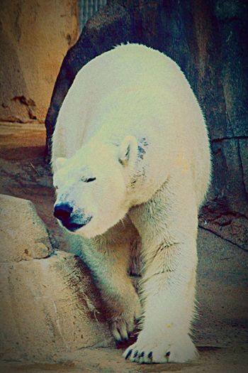 Photography Polar Bear Kc Zoo Eye4photography  Zoo Animals  Nakita The Polar Bear