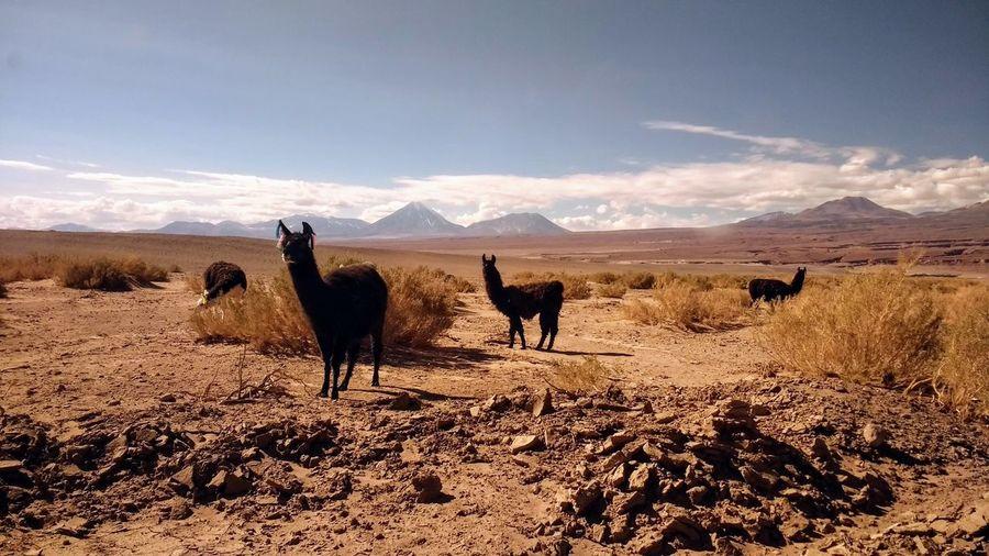 Llamas standing on land