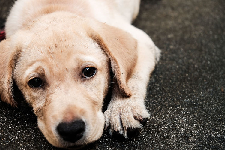 Dog Pets Looking At Camera Animal One Animal Portrait Eye Domestic Animals Puppy Mammal Young Animal Close-up Lying Down No People Outdoors Animal Themes Day Eeyemphotography Dogs Dog❤ Dogs Of EyeEm Doglover Dogstagram Animal Body Part LabradorLove