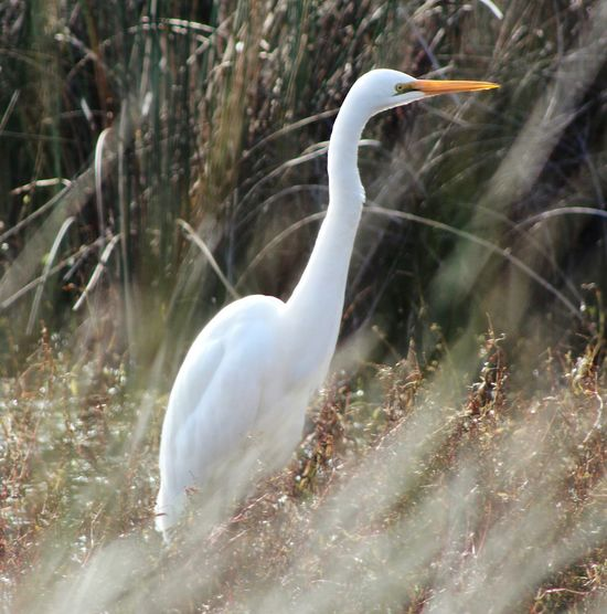 Found A White Heron Hiding In The Tall Reeds. Happy Thurs/Friday Friends. ;) Nature On Your Doorstep EyeEm Best Shots Eye4photography  EyeEm Nature Lover Bird Photography EyeEm Birds Birds Landscape Ladyphotographerofthemonth Landscape_photography