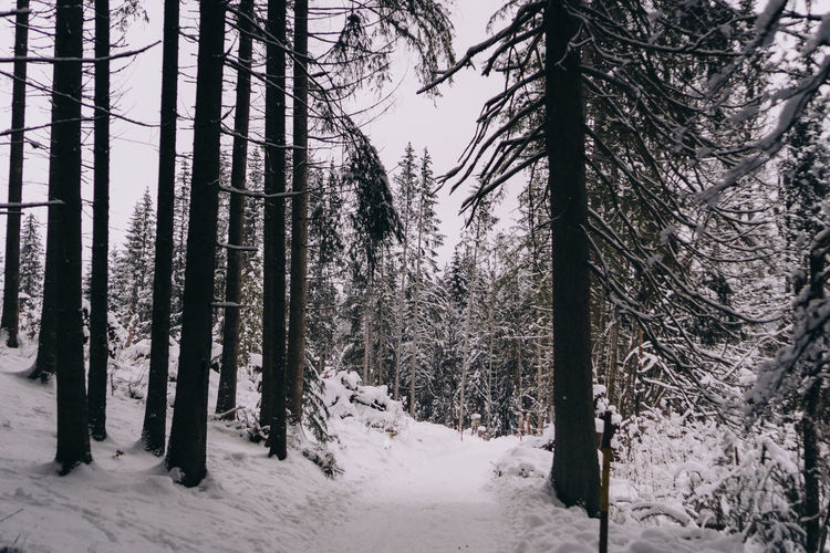 Snow covered pine trees in forest during winter