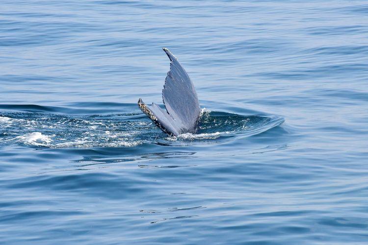 Humpback whale tail diving in the atlantic ocean