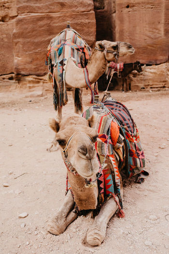 Close-up portrait of camel on land