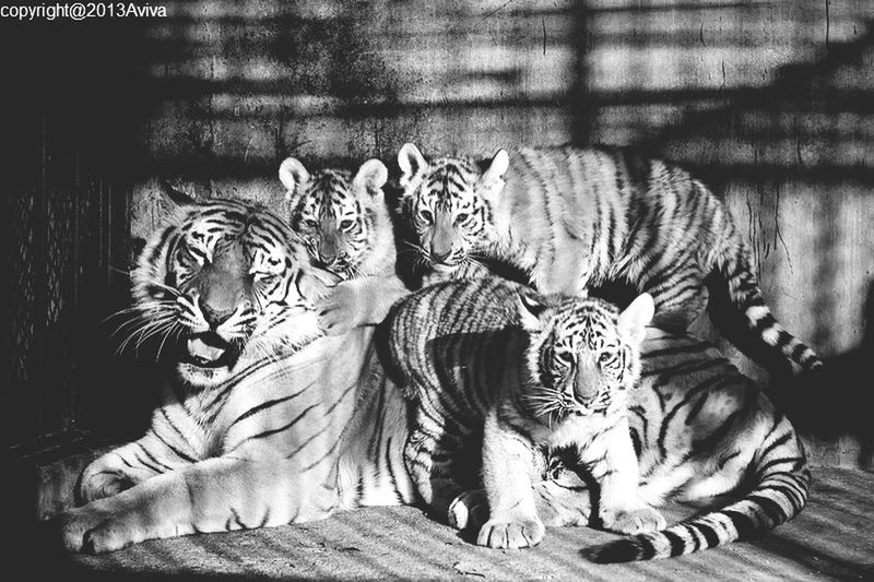 Tiger Taking Photos