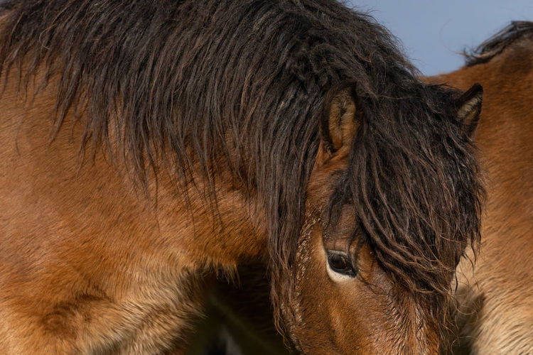 Head of a wild exmoor pony, against a blue sky in nature reserve in fochteloo, the netherlands.