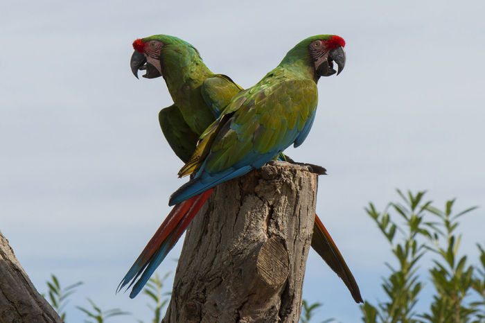 Couple green Macaw's showing there skills and beauty at a bird show. Bird Birds Birds Of EyeEm  Birds_collection Birds🐦⛅ Cloud - Sky Couple Couples❤❤❤ Green Color Green Color Low Angle View Macaw Nature No People Parrot Parrot Lover Parrots Parrotsofinstagram Photography Photooftheday Side View Sky Wild Wildlife & Nature