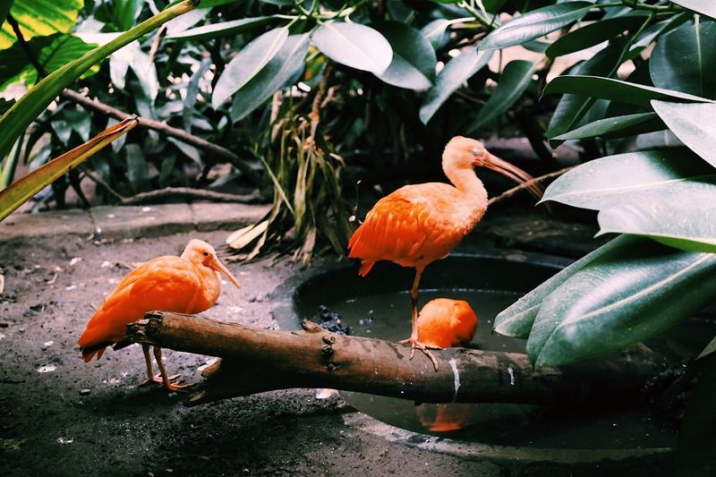 Close up of scarlet ibis