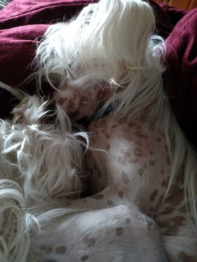 Zoey my Chinese Crested Dog knows how to Relax on a Rainy Day . Sleepy Dog Dogs Of EyeEm Pets Corner Chinese Crested Sleepy Doggy Nap Time Comfort Zone