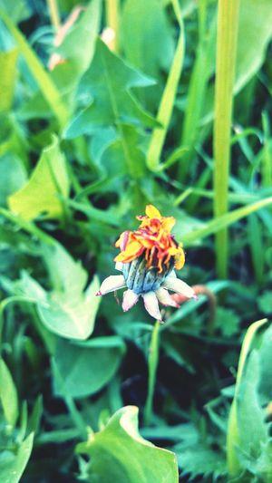 Dandelion I Love Spring <3