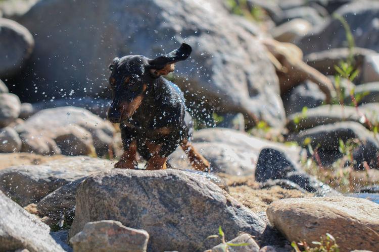 dachshund negro secándose luego de un baño Dachshund Dog Black Rocks Water Drying EyeEm Selects Motion Animal Outdoors One Animal Nature Summer Day Animal Themes Mammal Water