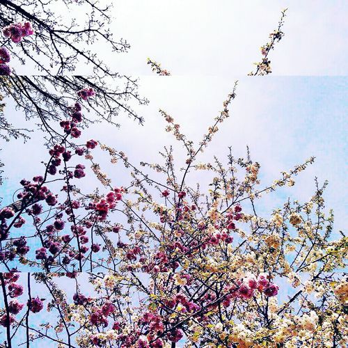 The promise of spring🌼 Spring Blossoms Nature Beauty In Nature Spring Has Arrived Bare Branches Budding Tree Close-up No People Sky Tree Plum Blossom Freshness Blue Sky Urban Beauty Tranquility Spring Spring Blooms Bright And Beautiful Early Spring 2017 Outdoors Bristol, England Uk